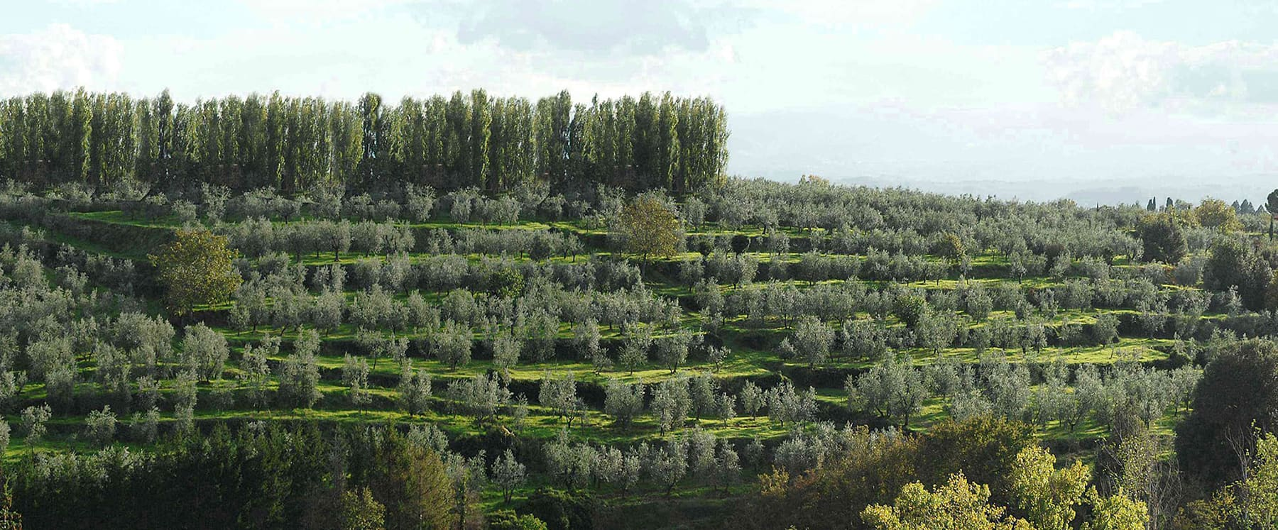 The Olive Groves of the Gonnelli 1585 farm | 43 000 olive plants